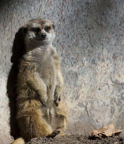 Loungin Meerkat