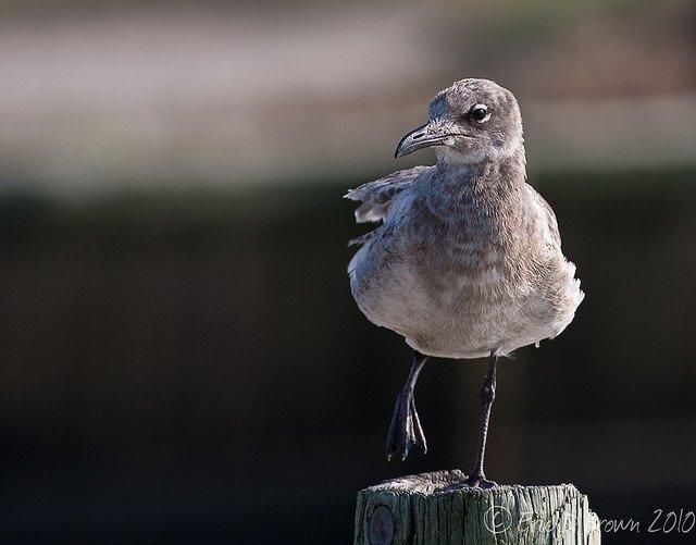 Gull on the Boardwalk