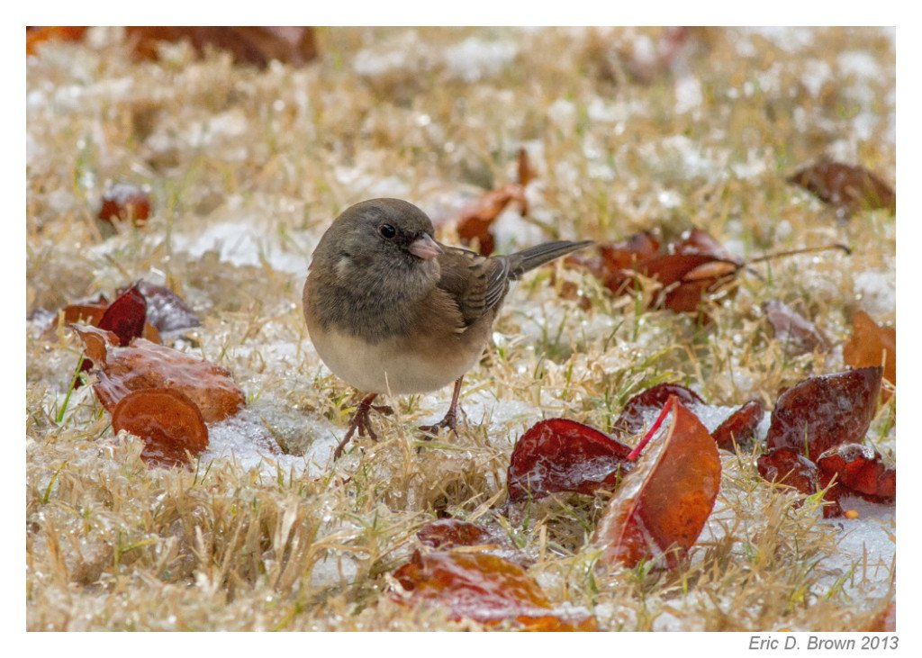 Junco on the Ground