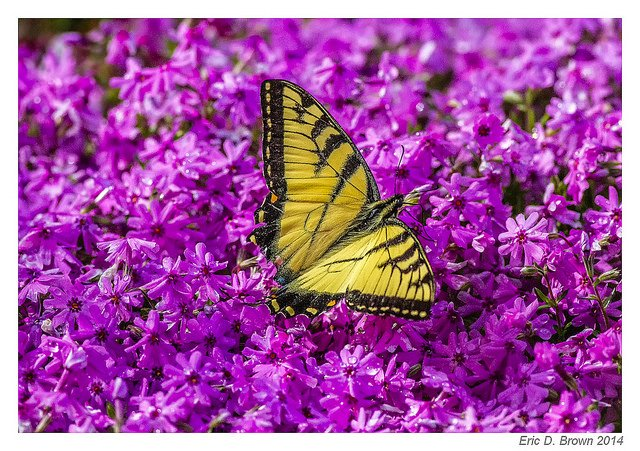 A Butterfly on Flowers