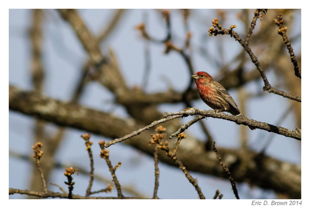 Red-Headed House Finch
