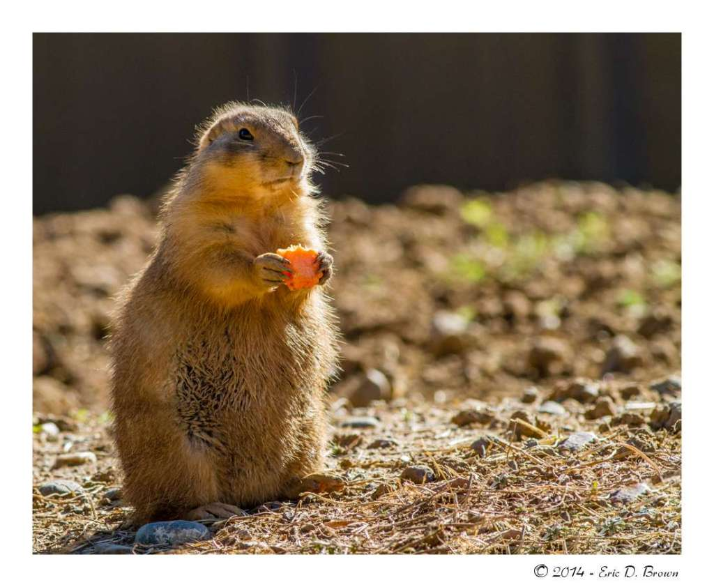 Prairie Dog with Carrot