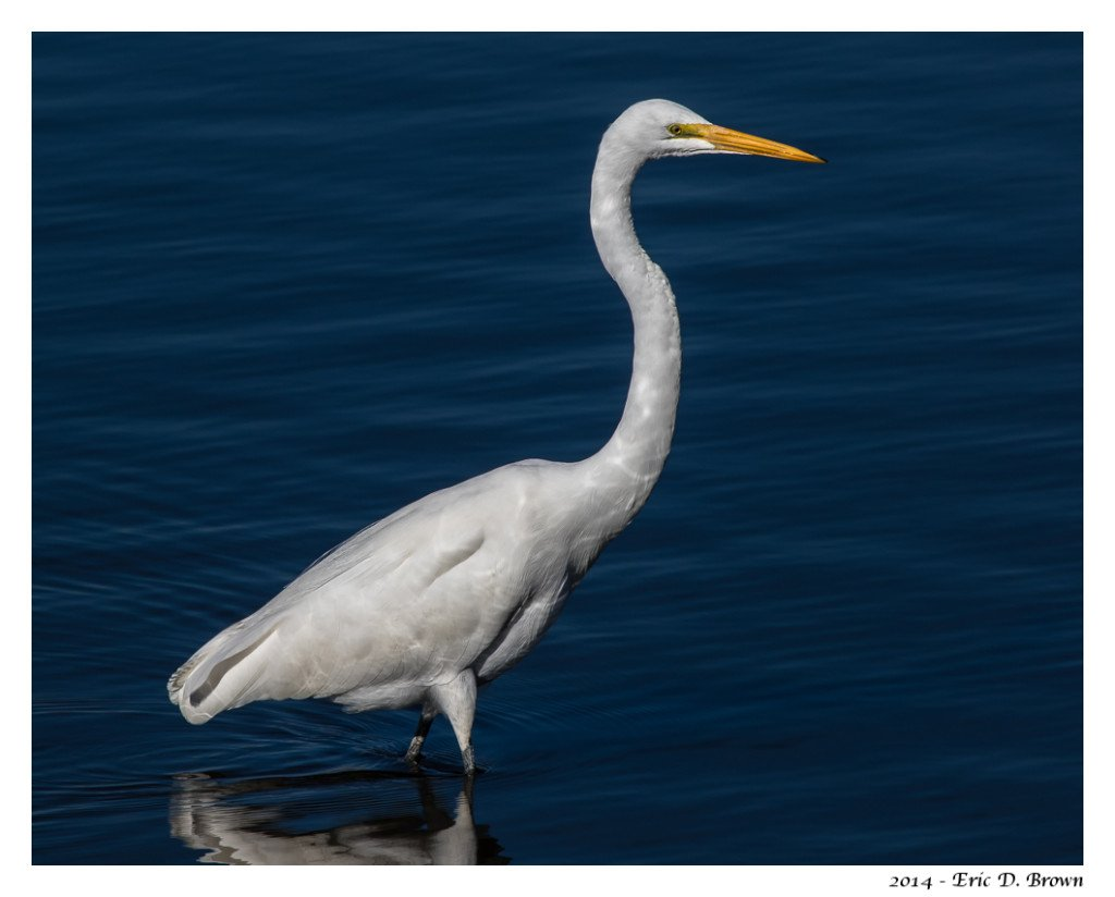 Great White Egret with Reflections