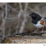 Towhee at the Water Fountain