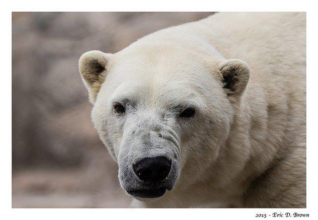 Polar Bear Giving me the 'look'