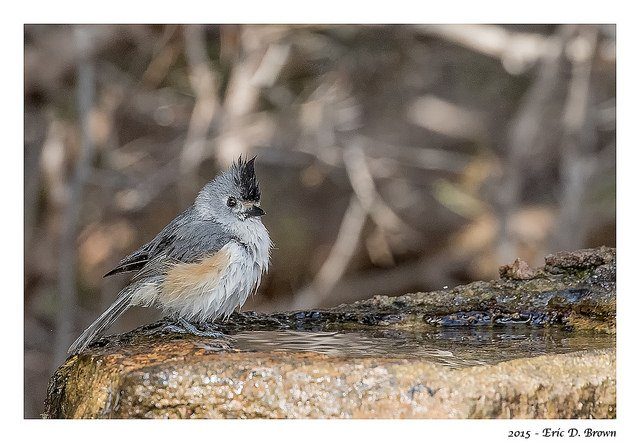 titmouse bathing