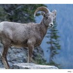 Big Horn Sheep at Logans Pass