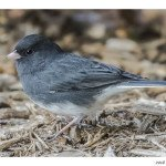 Foto Friday – Junco