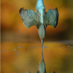 "Alan McFadyen's ""Perfect"" Kingfisher shot"