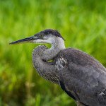 Foto Friday – Great Blue Heron in Profile
