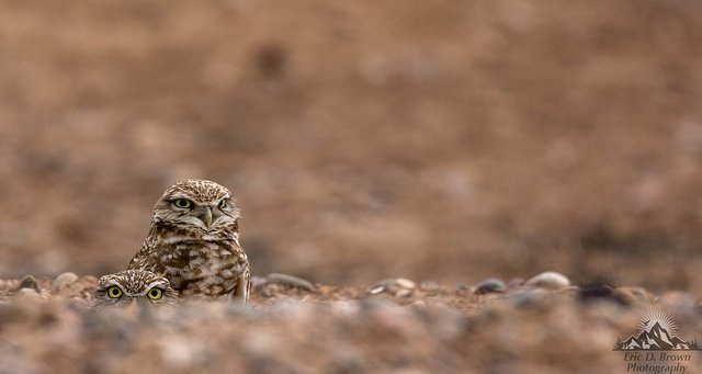 "Burrowing Owls Playing ""Peak-a-boo"""