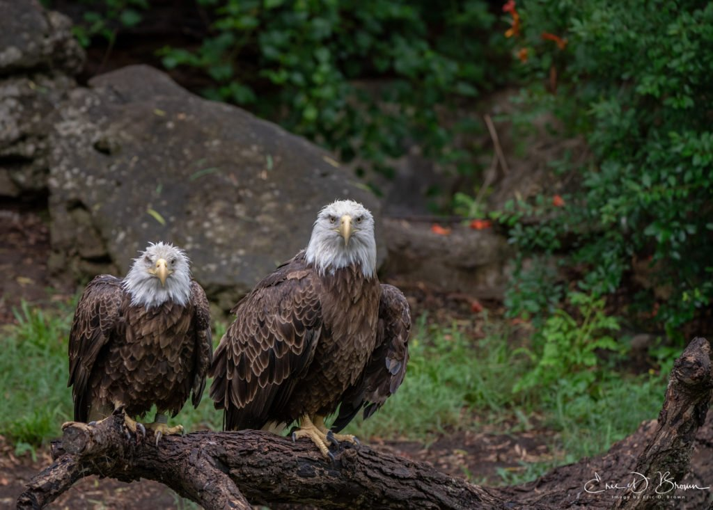 Foto Friday – Eagles at Rest