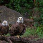 Foto Friday – Eagles at Rest